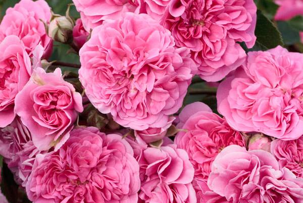 Famous Roses aduce eleganta si bunul gust la tine in gradina!