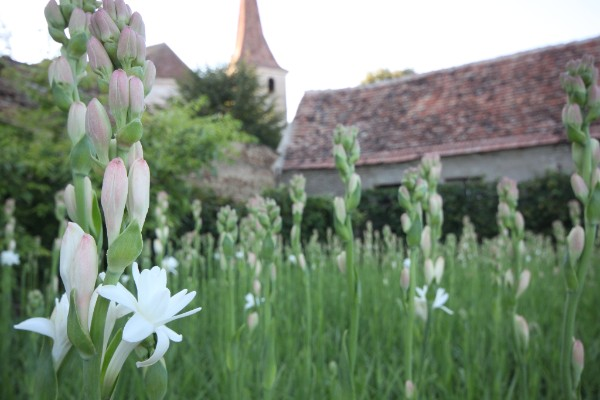 Celebritățile au vizitat plantațiile de tuberoze din Hoghilag, Transilvania!